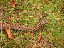 Brown węża kraul przy trawą zdjęcia stock