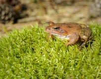 Brown-Waldfrosch, der auf dem Gras sitzt Lizenzfreie Stockbilder