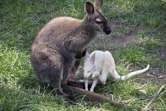 Brown wallaby z białym joey obrazy stock