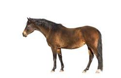 Brown warmblood horse, exterior, isolated Stock Photos