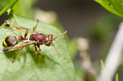 Brown wasp in forest Royalty Free Stock Photos