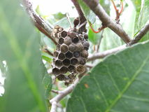 Brown wasps on nest with eggs in Swaziland. Brown wasps on their nest with eggs in Swaziland stock photography