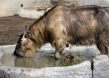 Water Buffalo Drinking Water. A brown water buffalo drinking water from a pond Royalty Free Stock Photography