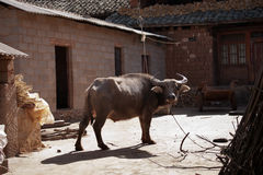 Brown water buffalo ox resting and standing on a farm. Brown water buffalo ox resting and standing on a farm while the sun is shining on him in the afternoon Royalty Free Stock Photo
