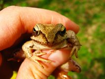 Brown water frog on hand close up stock photography