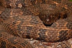 Brown Water Snake Stock Photos