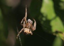 Brown-weiße und schwarze Spinne Lizenzfreies Stockfoto
