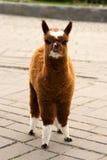 Brown-weißes Kaliko-Alpaka-Lama Stockfotografie