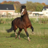 Brown welsh mountain pony stallion with black hair galloping Royalty Free Stock Photo