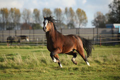 Brown welsh mountain pony stallion with black hair Stock Image