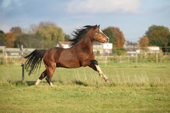 Brown welsh mountain pony stallion with black hair Royalty Free Stock Image