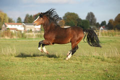 Brown welsh mountain pony stallion with black hair Stock Photography