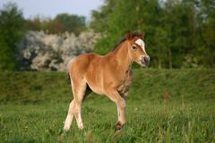 Brown welsh pony foal. A brown welsh pony foal walking curiously towards the camera Royalty Free Stock Image