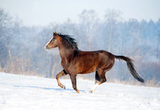 Brown welsh pony runs free in winter field Royalty Free Stock Photography