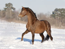 Brown welsh pony in snow Stock Images