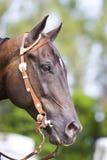 Brown western horse portrait Stock Photos