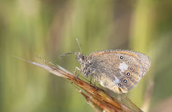 Brown wet butterfy on a plant straw. Closeup of a brown wet butterfly on a plant straw Royalty Free Stock Image