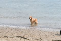 Brown dog playing at a beach. A brown wet dog wading in the water at a beach. The dog is happy with a smile, looking like its having fun royalty free stock image