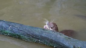 Otter hunting and eating fish nearby a log in the pond stock footage