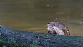 Otter hunting and eating fish nearby a log in the pond stock video footage
