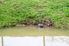 Brown wet wild with sharp teeth and large tail aquatic beaver ordinary, the rodent floats in a pond, a river with muddy brown wate royalty free stock images