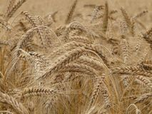 Brown Wheat Royalty Free Stock Images