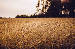 Brown Wheat Field Royalty Free Stock Photos