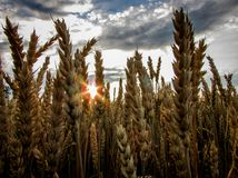 Brown Wheat Field Under Blue Cloudy Sky Stock Image