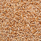 Brown wheat grains Stock Photo