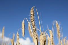 Brown wheat Stock Image
