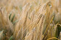 Brown Wheat Plant Royalty Free Stock Image