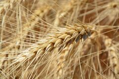 Brown Wheat Plant Stock Photography