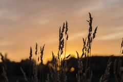 Brown Wheat during Sunset Stock Photography