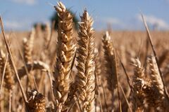 Brown Wheat Under Blue Sky Royalty Free Stock Image