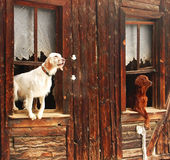 Brown and white. Two dogs in a shack in Turkish village near Ankara royalty free stock photos