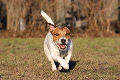 Brown and white active dog playing at spring park. Jack Russell Terrier dog walking on sunny day Stock Photography