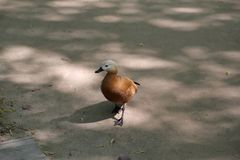 Adult female duck. A brown-white adult female duck in the shade in the open air Stock Photos