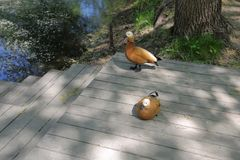 Adult female duck. A brown-white adult female duck in the shade in the open air Royalty Free Stock Images