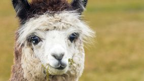 Brown white alpaca lama. Cute brown white alpaca lama looking into the camera Royalty Free Stock Image