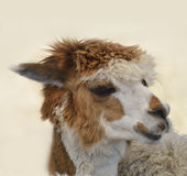 Brown And White Alpaca Stock Image