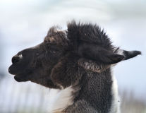 Brown And White Alpaca Stock Photography
