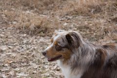 Brown and White Australian Shepherd Facing Left with Mouth Open. The head and shoulders of a brown and white Australian Shepherd from above. Shallow depth of Royalty Free Stock Image