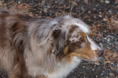 Brown and White Austrtalian Shepherd from Above Royalty Free Stock Photo