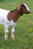 Brown and White Baby Goat Stock Image