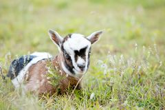 Brown and white baby kid goat laying in grassy paddock Stock Photo