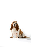Brown and white basset hound. Against a high key background stock photos