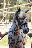 Brown and white bay horse being led by a halter Royalty Free Stock Image