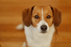 Brown and white beagle dog Royalty Free Stock Photo