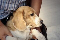 A brown and white beagle dog in the park Stock Image