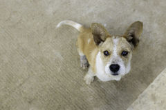 Brown white big ear cute puppy look up. From ground shallow depth of field Royalty Free Stock Images